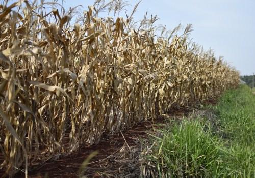 种植玉米的土地