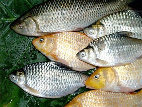 稻花鱼养殖方法