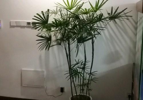 室内摆什么绿植合适 棕竹