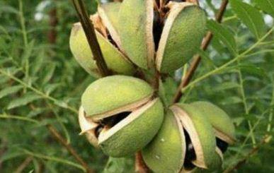 文冠果种植技术
