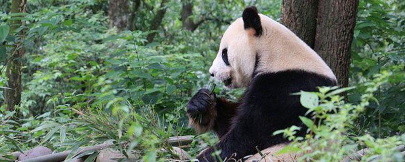大熊猫咬人吗