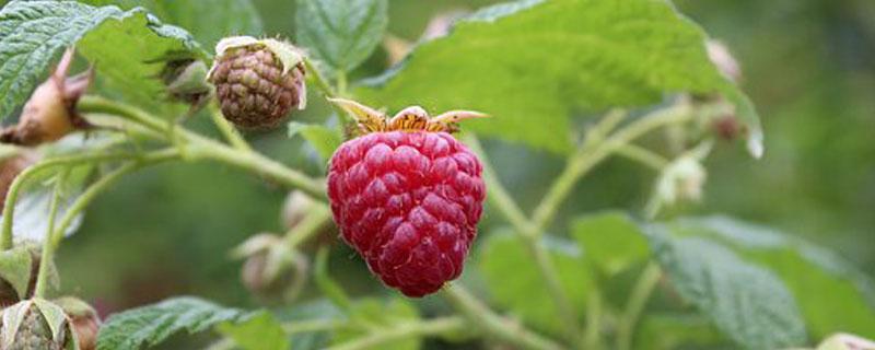 红树莓种植技术