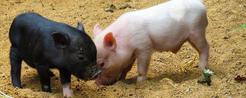 仔猪呕吐是什么原因