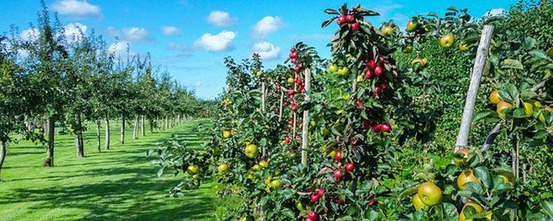 除草剂对果树有影响吗