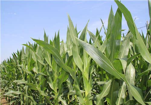 地里的玉米