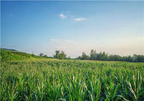 生长中的玉米