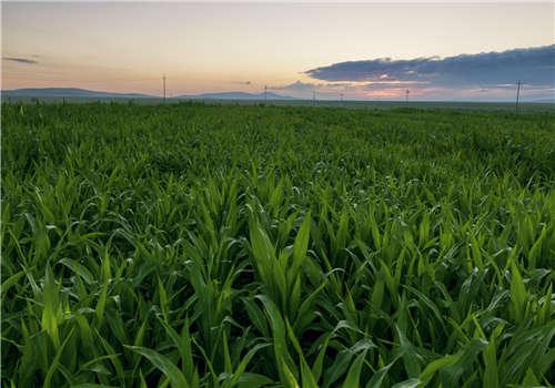 田地里玉米的排列方式
