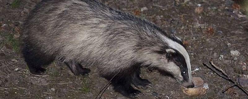 獾是什么动物查看图片图片