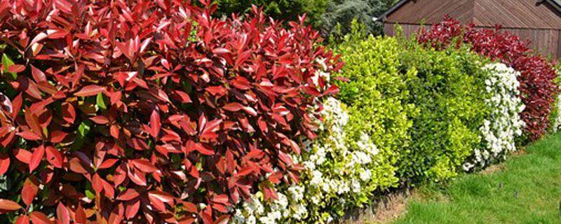红叶石楠怎么种