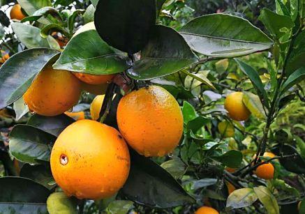 脐橙的田间管理技术