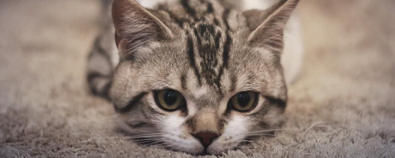 趴在地毯上的猫