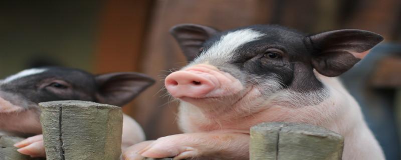 猪瘟疫苗什么时候打