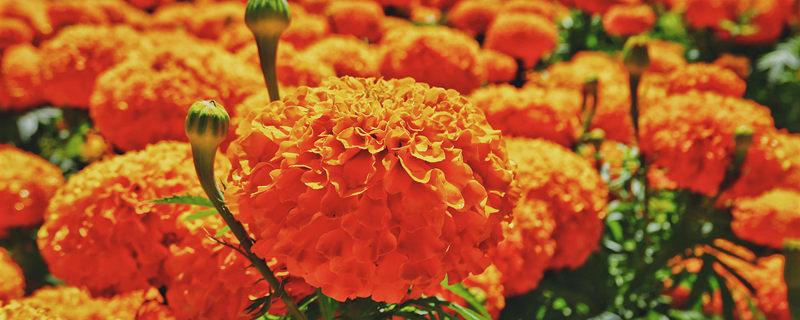 南非万寿菊种植方法