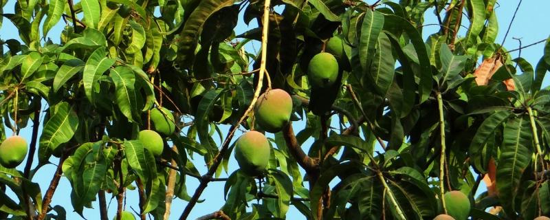 芒果-摄图网