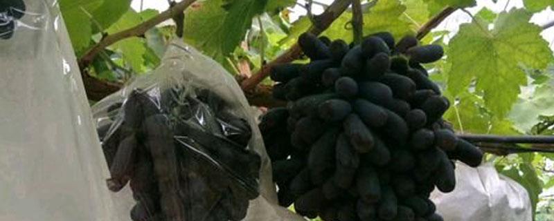 甜藍寶石葡萄栽培技術
