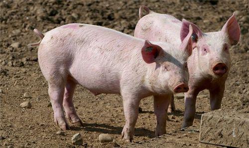 非洲猪瘟扑杀补贴