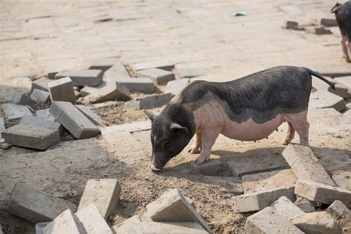 非洲猪瘟防控依然复杂严峻