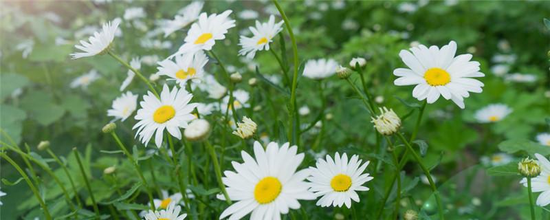 夏菊一年开几次花