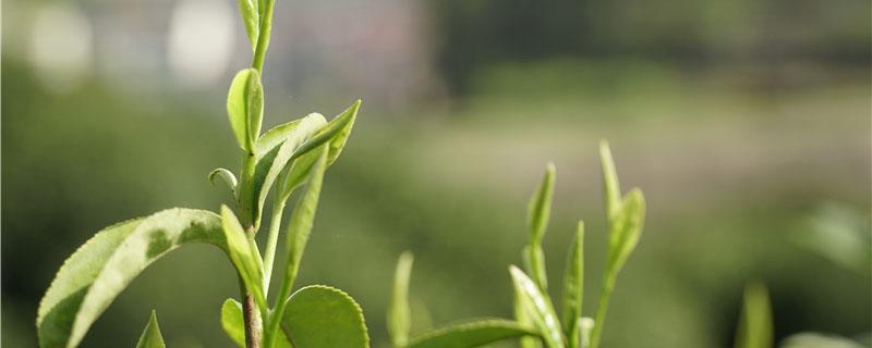 大树茶是属于什么茶