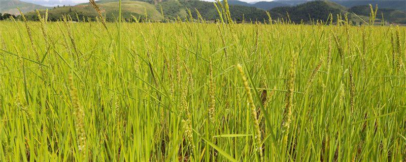 谷子高产栽培技术