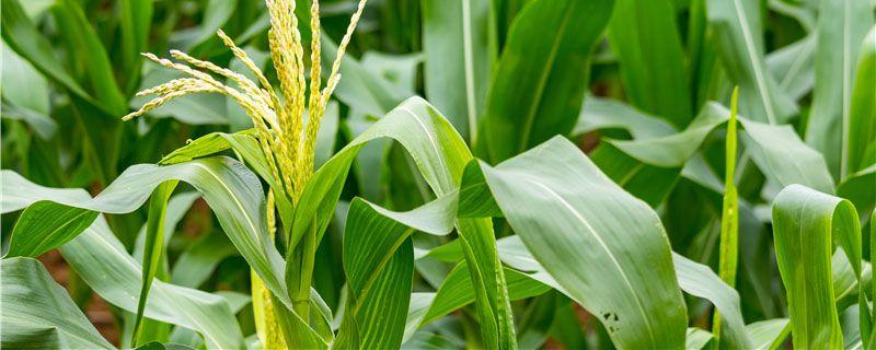 玉米矮缩病用什么药