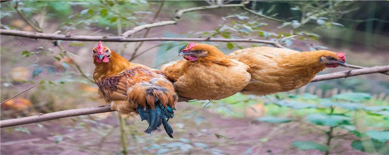 鸡粪的作用