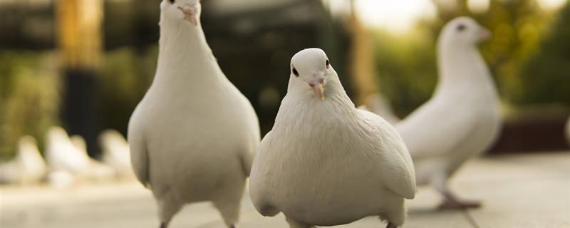 家养鸽子怎么养