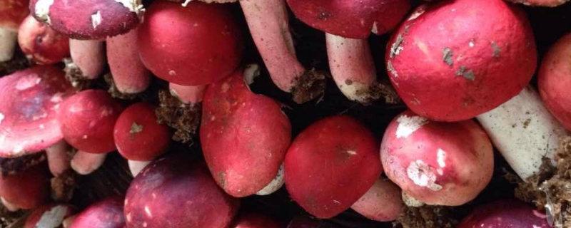 采摘的红菇