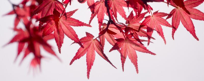 红枫的繁殖方法