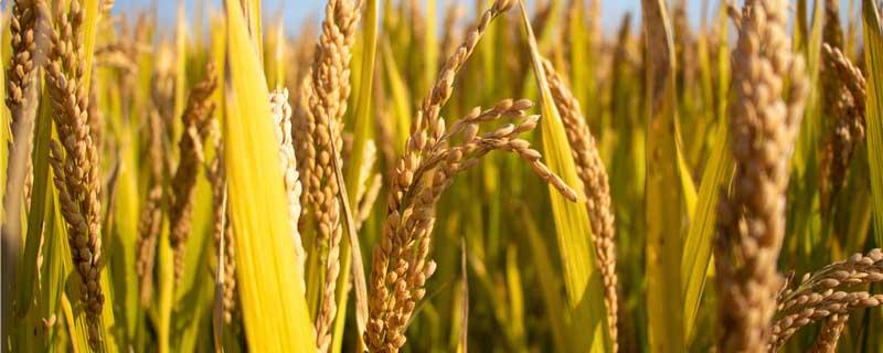 稻谷是什么时候成熟