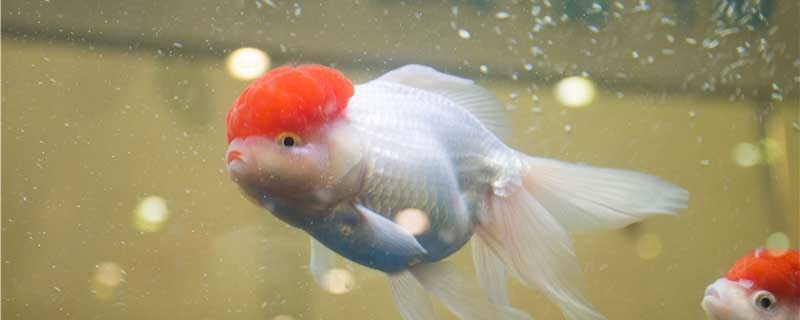 冬天怎么养金鱼