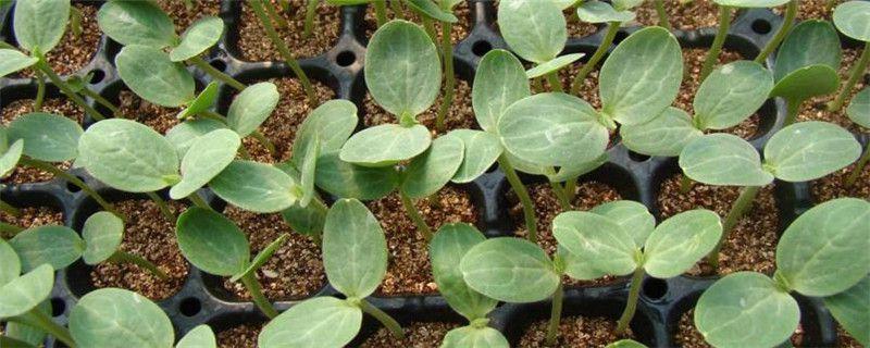 西瓜无土栽培技术