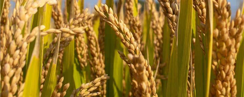 水稻胡麻叶斑病特效药