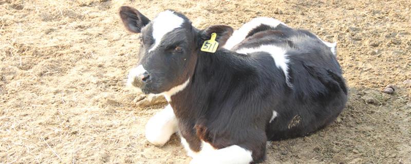 繁殖母牛的养殖技术