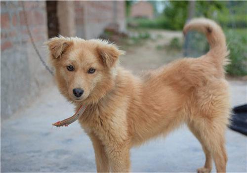 黄色的中华田园犬