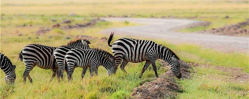 斑马是哺乳动物吗