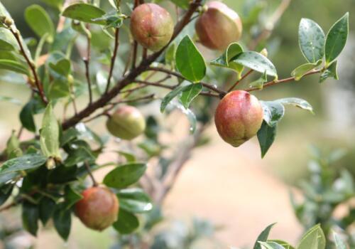 茶子树田间种植管理方法