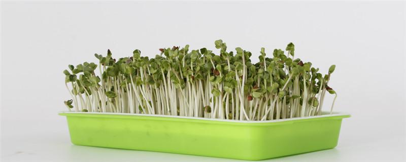 芽苗菜有哪些品种