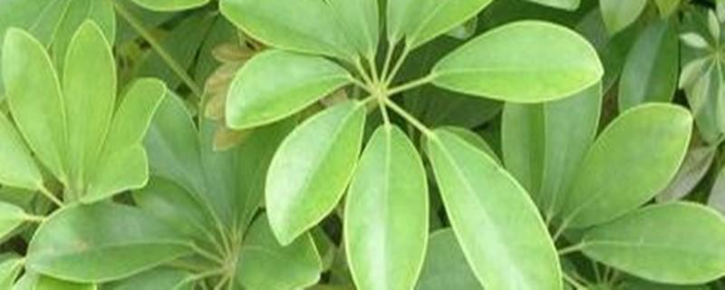 小叶发财树的养殖方法和注意事项