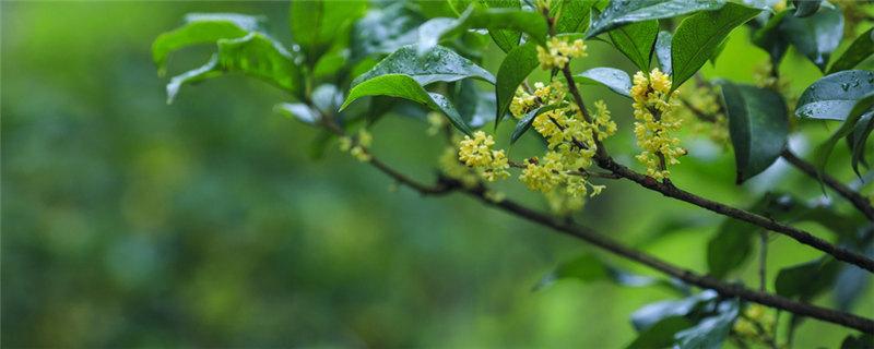 桂花常绿还是落叶