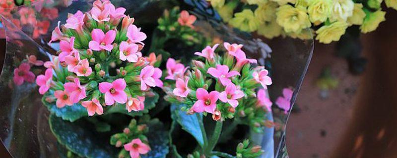 长寿花怎么施肥