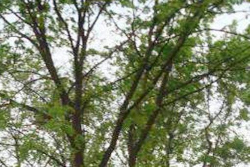 榔榆是常绿还是落叶