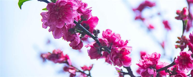 碧桃是常绿还是落叶