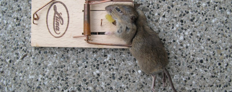 老鼠怎么繁殖?