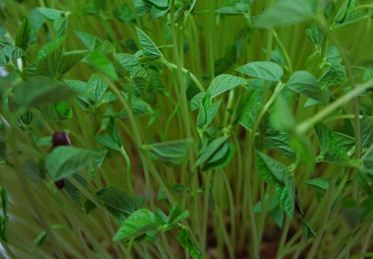 红豆苗的种植方法