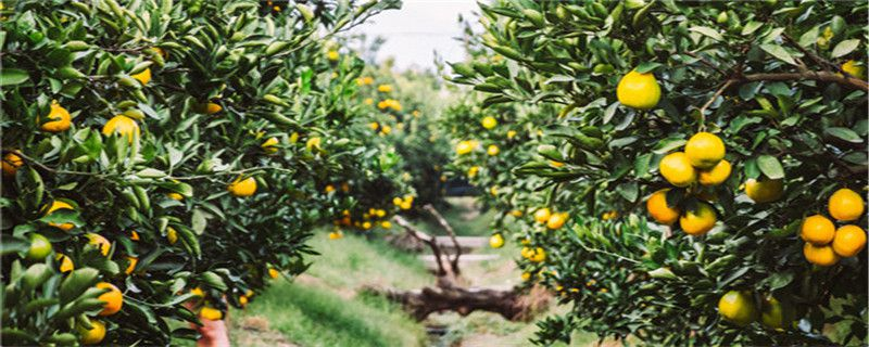 柑桔用什么农药