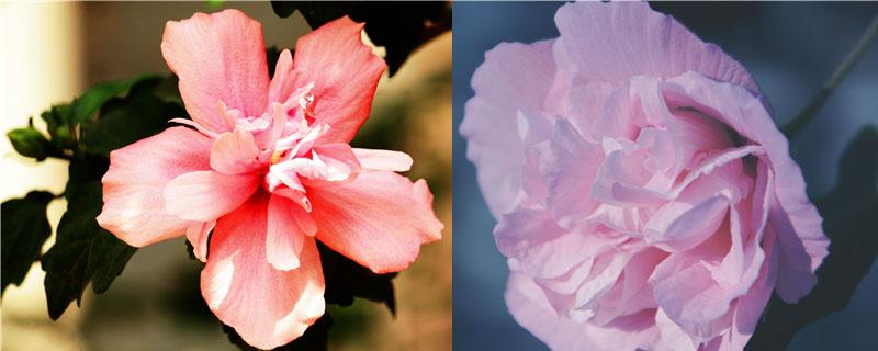 木槿花和木芙蓉的区别