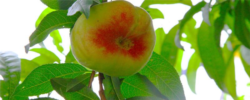 桃树要种几年结果