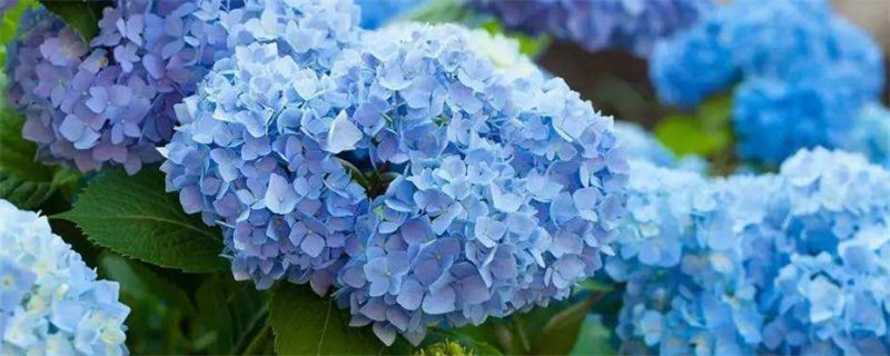 无尽夏与绣球花的区别