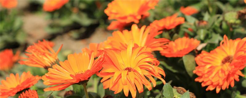 金盏花和洋甘菊的区别